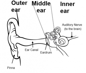 3 furthermore How Normal Hearing Works moreover Ear Structure Diagram Blank further Use Case Diagram Explanation Ppt moreover Diagram Jablonski Pdf. on outer brain diagram